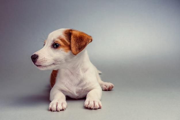 Jack russell terrier cachorro acostado Foto Premium