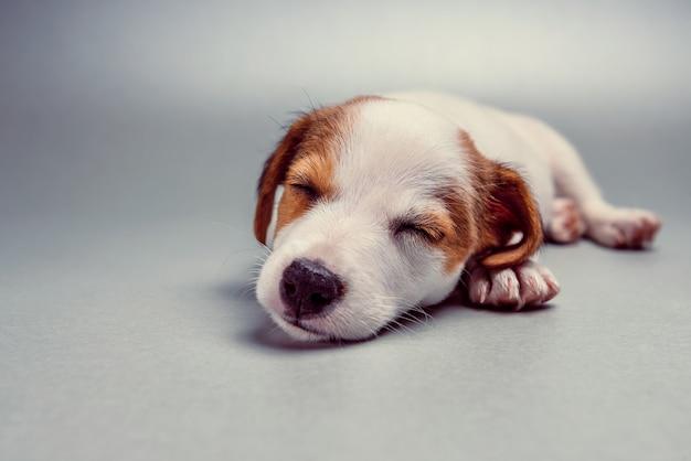 Jack russell terrier cachorro durmiendo Foto Premium