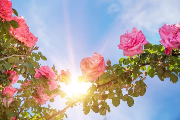 Jardín de rosas sobre el cielo.   Descargar Fotos gratis