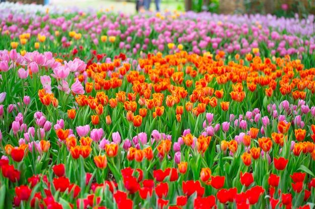 Jardín de flores de colores campo de flor del tulipán para la postal del fondo o de la naturaleza. Foto Premium