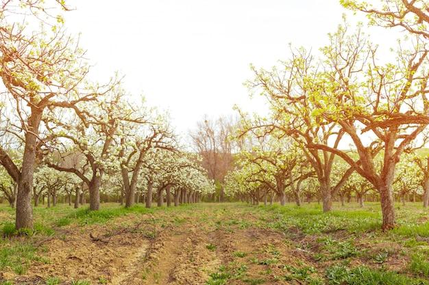 Jardín de manzana con árboles en flor. Foto Premium