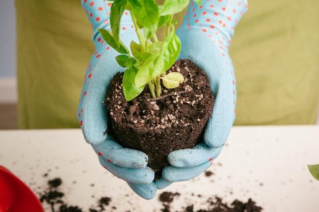 Jardinería en casa. manos de mujer con mesa de brotes Foto Premium