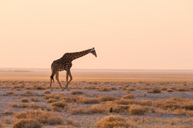 Jirafa caminando en el monte en la sartén del desierto al atardecer. wildlife safari en el parque nacional de etosha, el principal destino turístico en namibia, áfrica. vista de perfil, luz suave escénica. Foto Premium