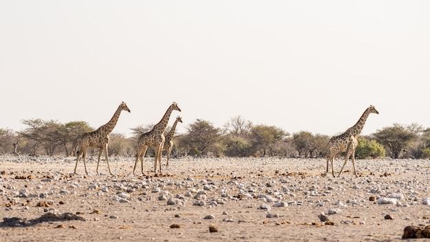 Jirafa caminando en el monte en la sartén del desierto. wildlife safari en el parque nacional de etosha, el principal destino turístico en namibia, áfrica. vista de perfil Foto Premium