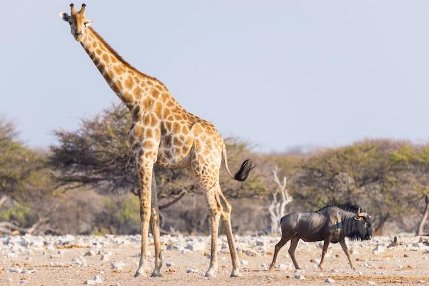 Jirafa y ñu azul caminando en el monte. Foto Premium