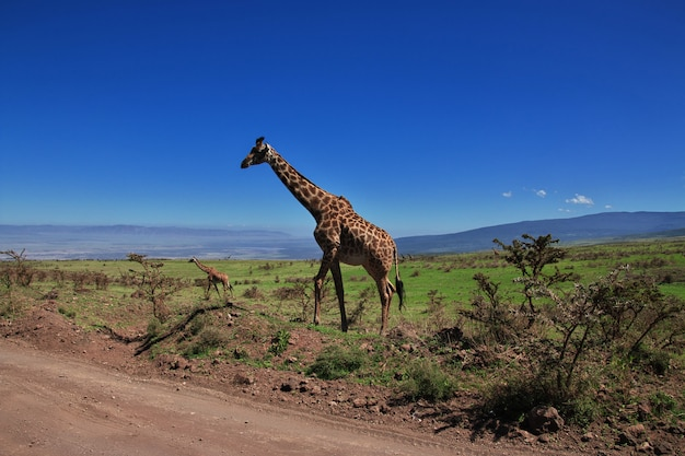 Jirafa en safari en kenia y tanzania, áfrica Foto Premium