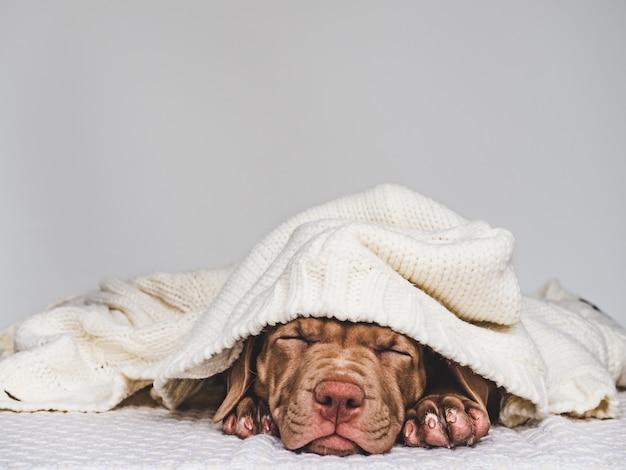 Joven cachorro encantador envuelto en una bufanda Foto Premium