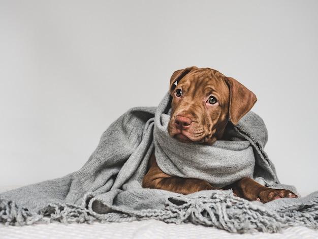 Joven cachorro, envuelto en una bufanda gris Foto Premium