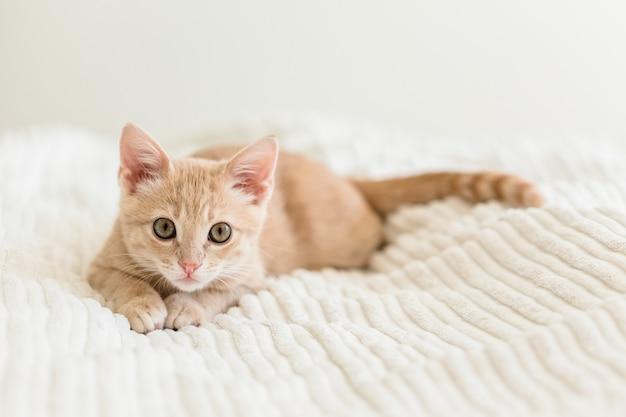 Joven gato rojo sobre una colcha blanca Foto Premium
