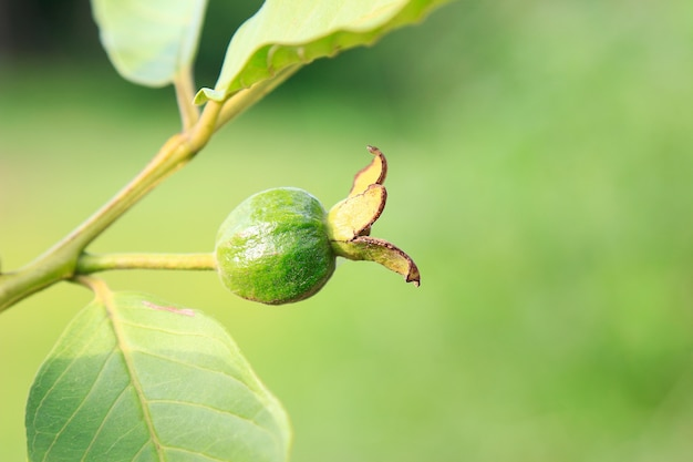 Joven guayaba verde en árbol Foto Premium