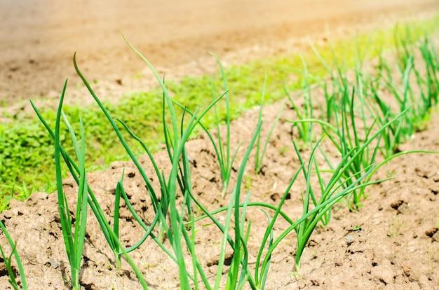 Joven puerro verde o cebollas que crecen en el campo Foto Premium