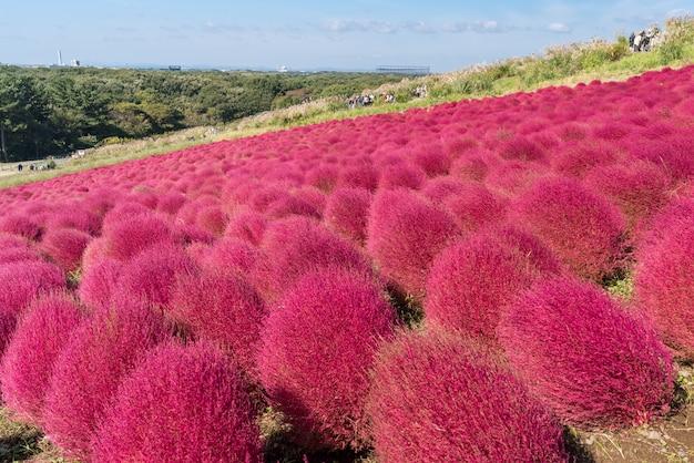 Kochia y cosmos presentaron a hitachi ibaraki japón. Foto Premium