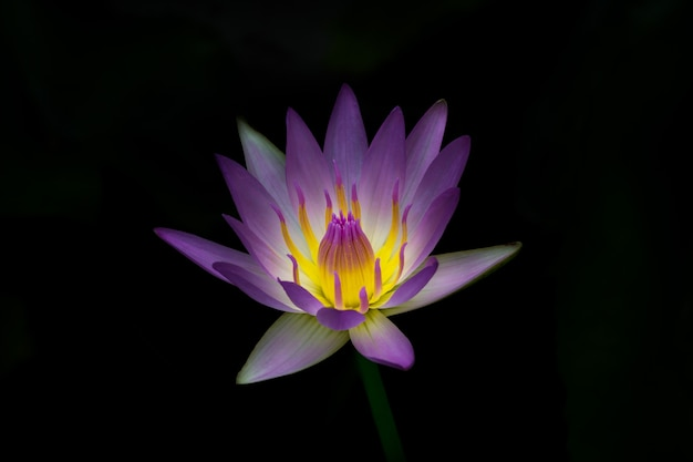 la flor hermosa flor de loto púrpura descargar fotos premium