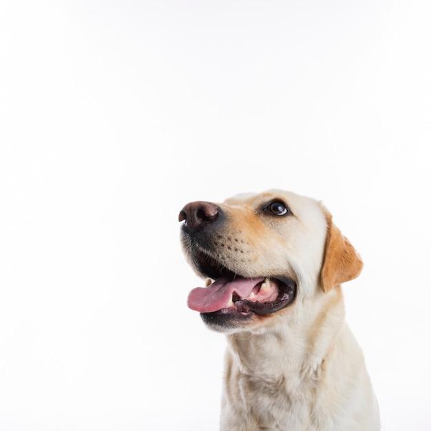 Labrador retriever Foto gratis