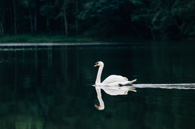 Lago con un cisne blanco Foto Premium