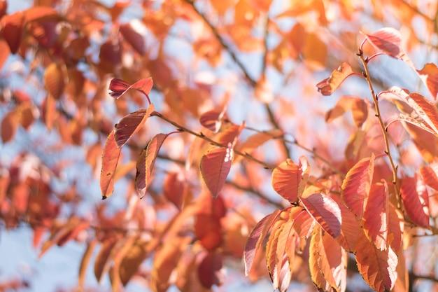 Las hojas de color rojo en la primavera en Tokio, Japón | Descargar ...