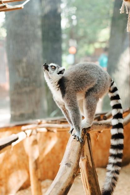 Lémur de cola anillada de pie en la rama del árbol mirando hacia arriba Foto gratis
