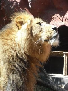 león, depredador