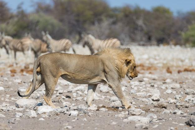León con cebras desenfocadas en el fondo. safari de vida silvestre en el parque nacional de etosha, namibia, áfrica. Foto Premium