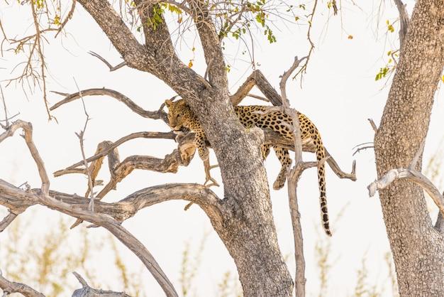 Leopardo que se encarama de la rama de árbol de acacia contra el cielo blanco. safari de vida silvestre en el parque nacional de etosha, principal destino turístico en namibia, áfrica. Foto Premium