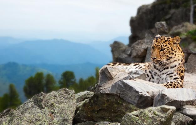 Leopardo en la roca Foto gratis