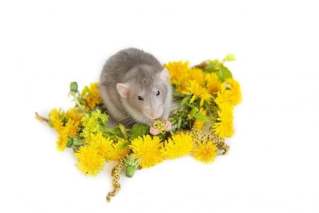 Linda rata dentro de una corona de diente de león. mascotas, roedores. Foto Premium