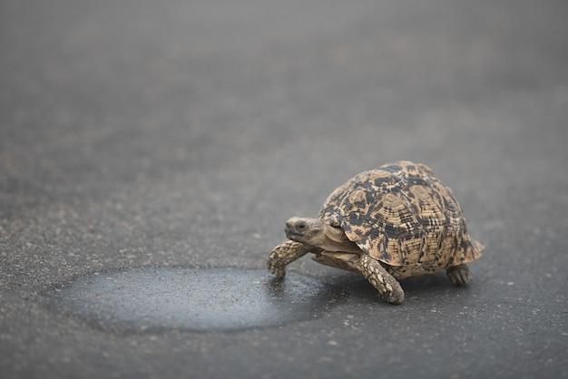 Linda tortuga caminando sobre el asfalto durante el día Foto gratis