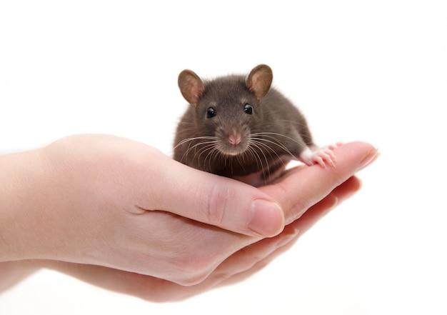 Lindo bebé rata de laboratorio negro en manos humanas Foto Premium