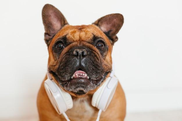 Lindo bulldog francés marrón en casa y. perro gracioso escuchando música en auriculares blanco. mascotas en interiores y estilo de vida. tecnología y música Foto Premium