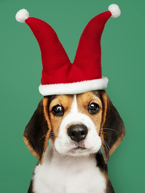 Lindo cachorro de beagle en un sombrero de bufón Foto gratis