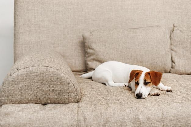 Lindo cachorro durmiendo en el sofá en casa. Foto Premium