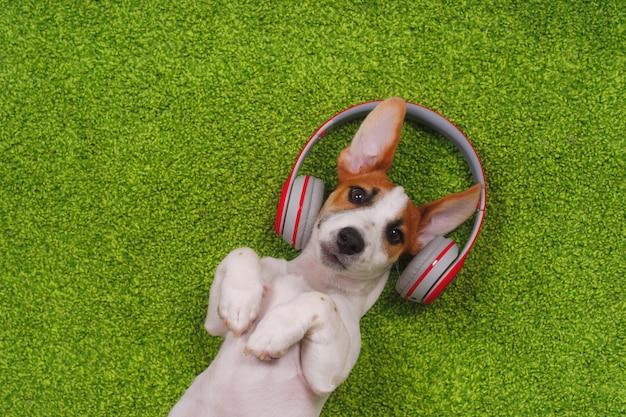 Lindo cachorro tumbado en la alfombra verde y escuchar música con auriculares. Foto Premium