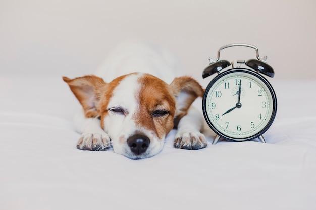Lindo perro acostado en la cama con un despertador a las 8 am. concepto de mañana y despertar en casa. Foto Premium