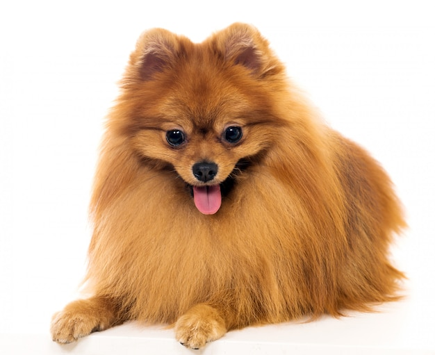 Lindo perro spitz Foto gratis