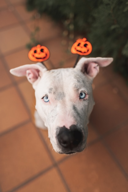 Lindo pit bull american stafford con un sombrero de halloween Foto Premium