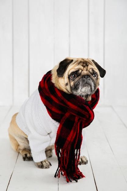 Lindo pug vistiendo suéter blanco y bufanda Foto gratis