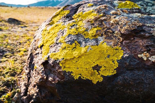 Líquenes amarillentos crecen en roca gris claro Foto Premium