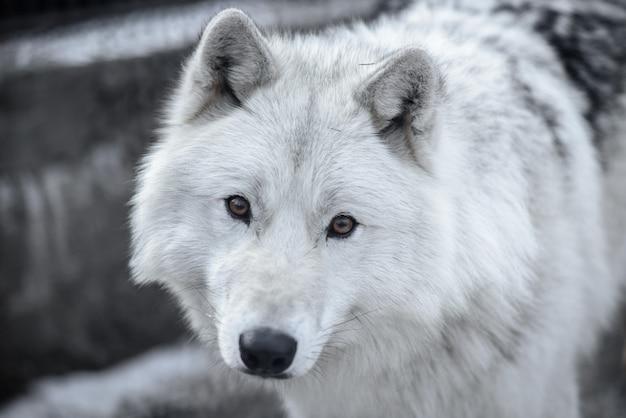 Foto Premium | Lobo ártico canis lupus arctos, también conocido como lobo  polar o lobo blanco - retrato de primer plano de este hermoso depredador
