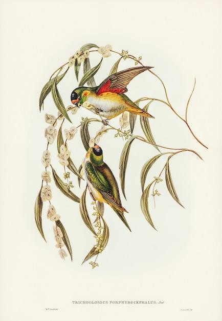 Lorikeet coronado de pórfido (trichoglossus porphyrocephalus) ilustrado por elizabeth gould Foto gratis
