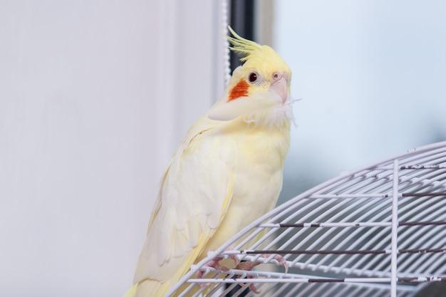 Loro corella está sentado en su jaula y sostiene su pluma. Foto Premium