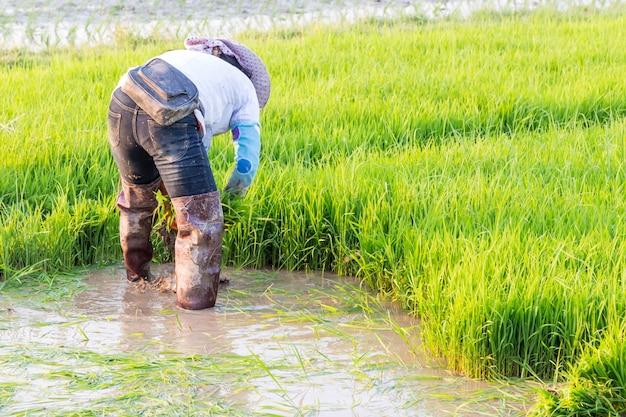 Resultado de imagen para arroz agricultores