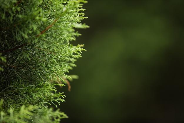 Сlose-up de una rama de un árbol conífero. bali. indonesia. Foto gratis
