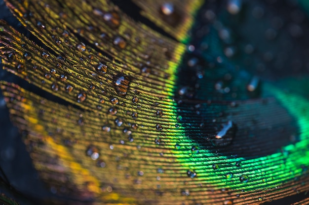Macro de gotas de agua en la hermosa pluma de pavo real exótico Foto gratis