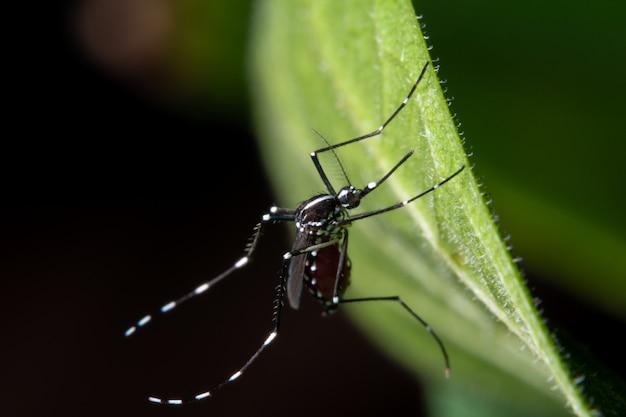 Macro, mosquito en las hojas. Foto Premium