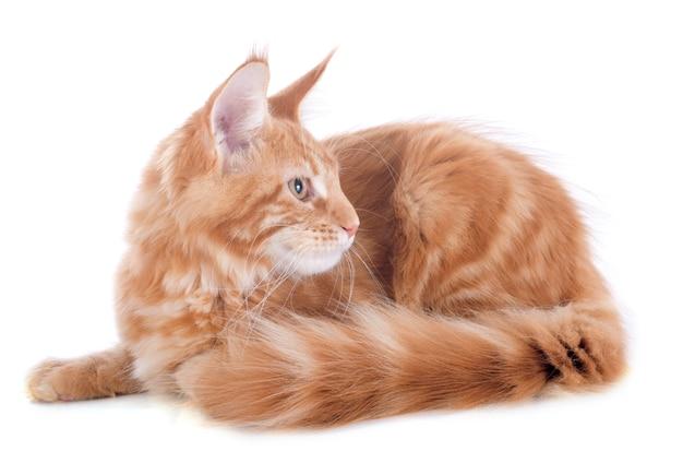 Maine coon gatito Foto Premium