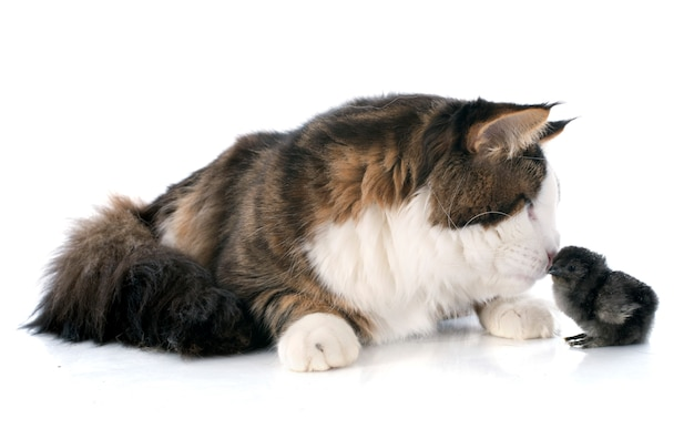 Maine coon gato y chica Foto Premium