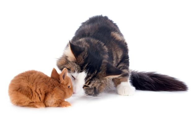 Maine coon gato y conejito Foto Premium