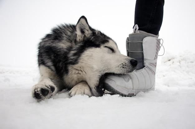 Malamute de alaska posando en una escena de invierno y juega con la pierna del hombre Foto Premium