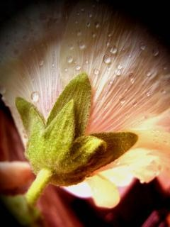 Malvarrosa planta descargar fotos gratis for Malvarrosa planta