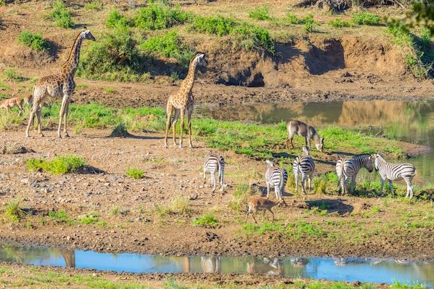 Manada de cebras, jirafas y antílopes pastando en la orilla del río shingwedzi en el parque nacional kruger, el principal destino de viaje en sudáfrica. marco idílico Foto Premium